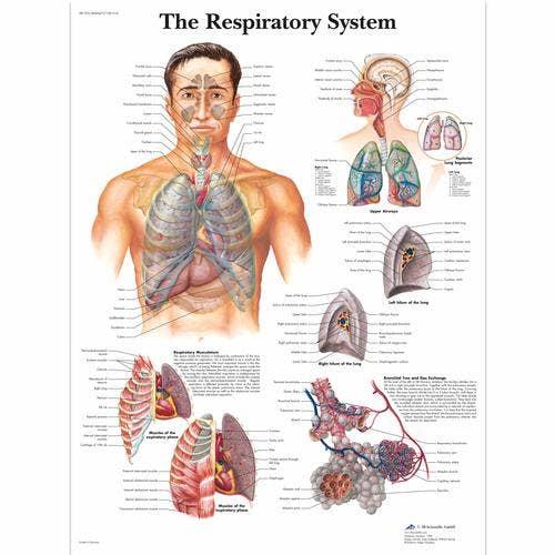 Ademhalingsstelsel, gelamineerde wandplaat