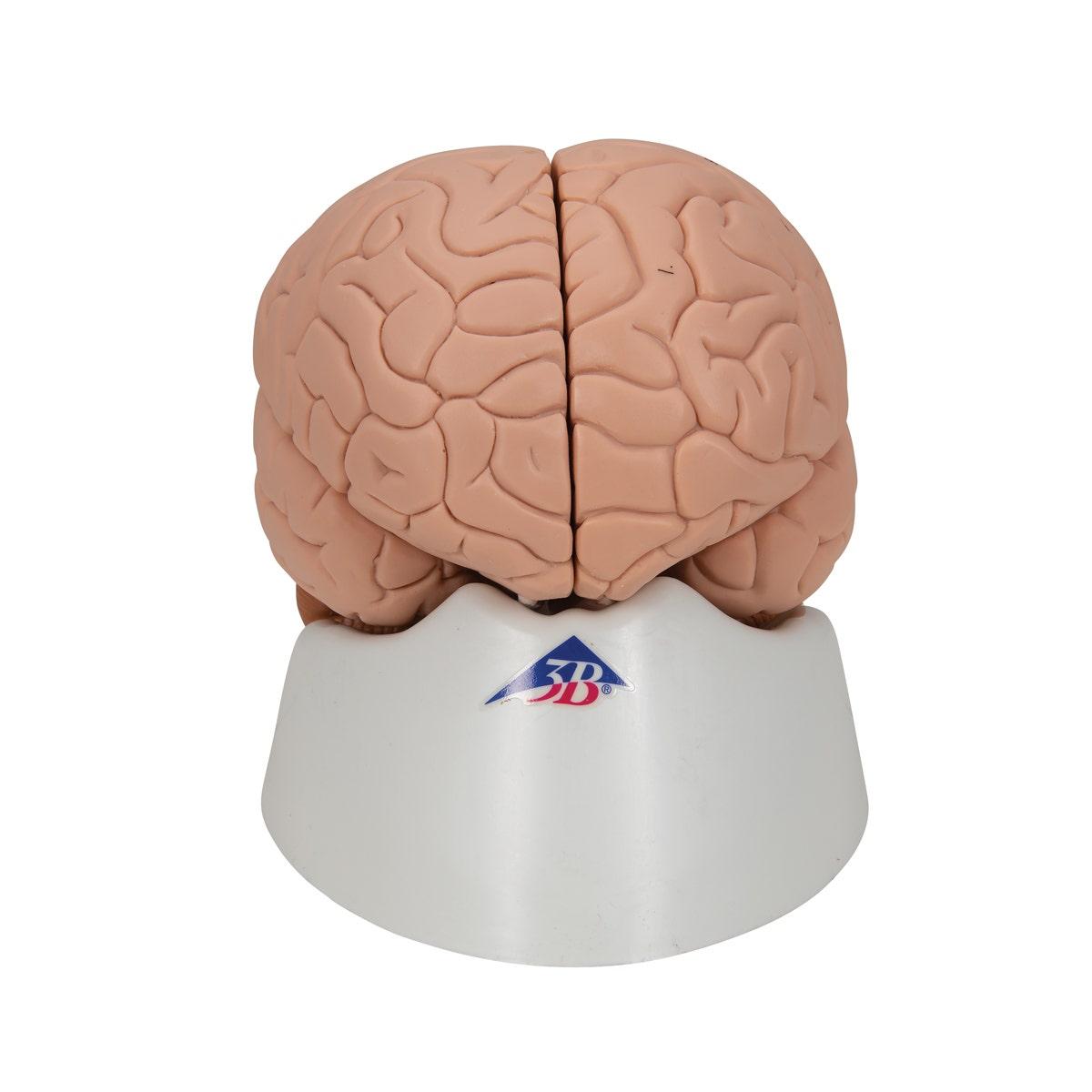 Hersenen model, basis