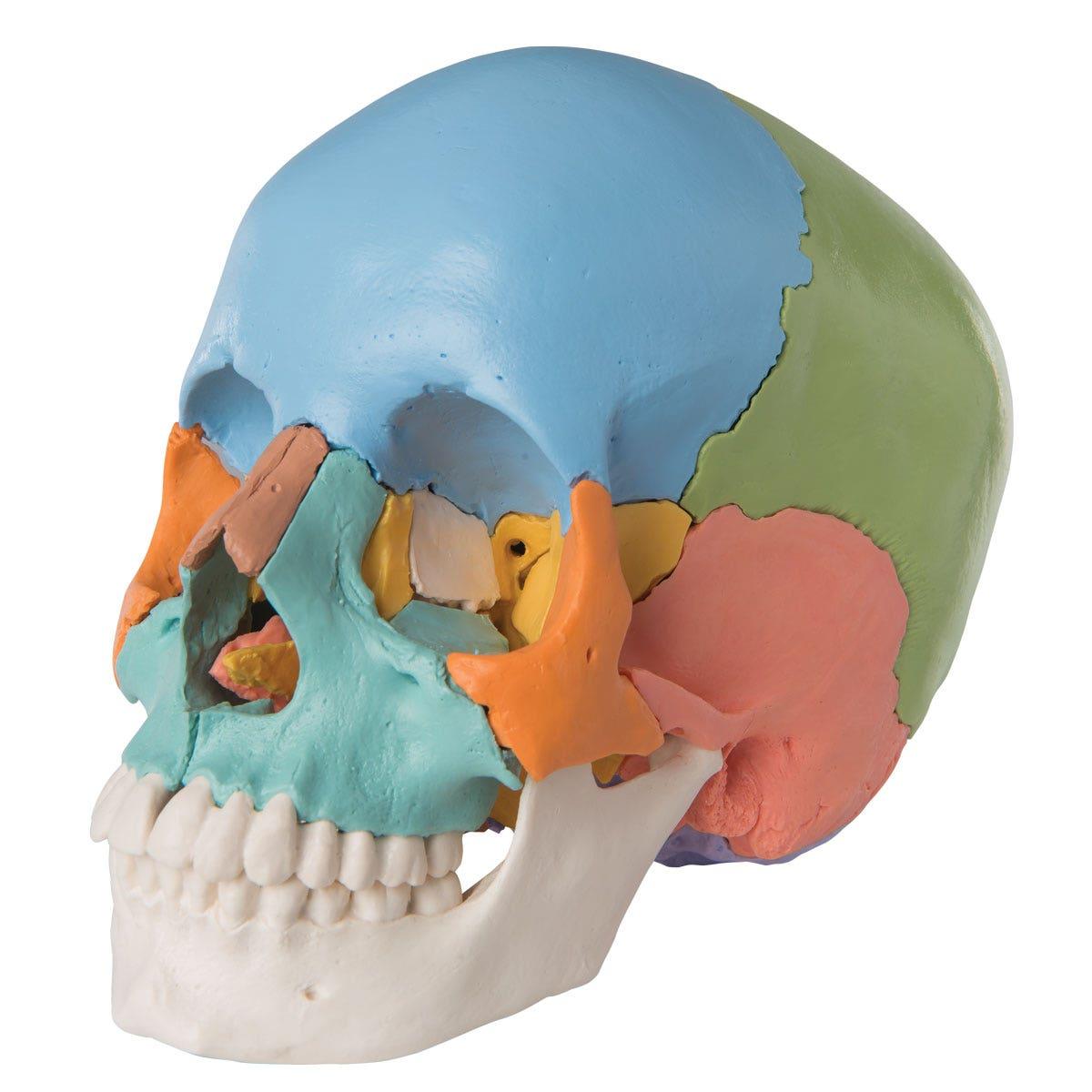 Didactisch model menselijke schedel (22-delig)