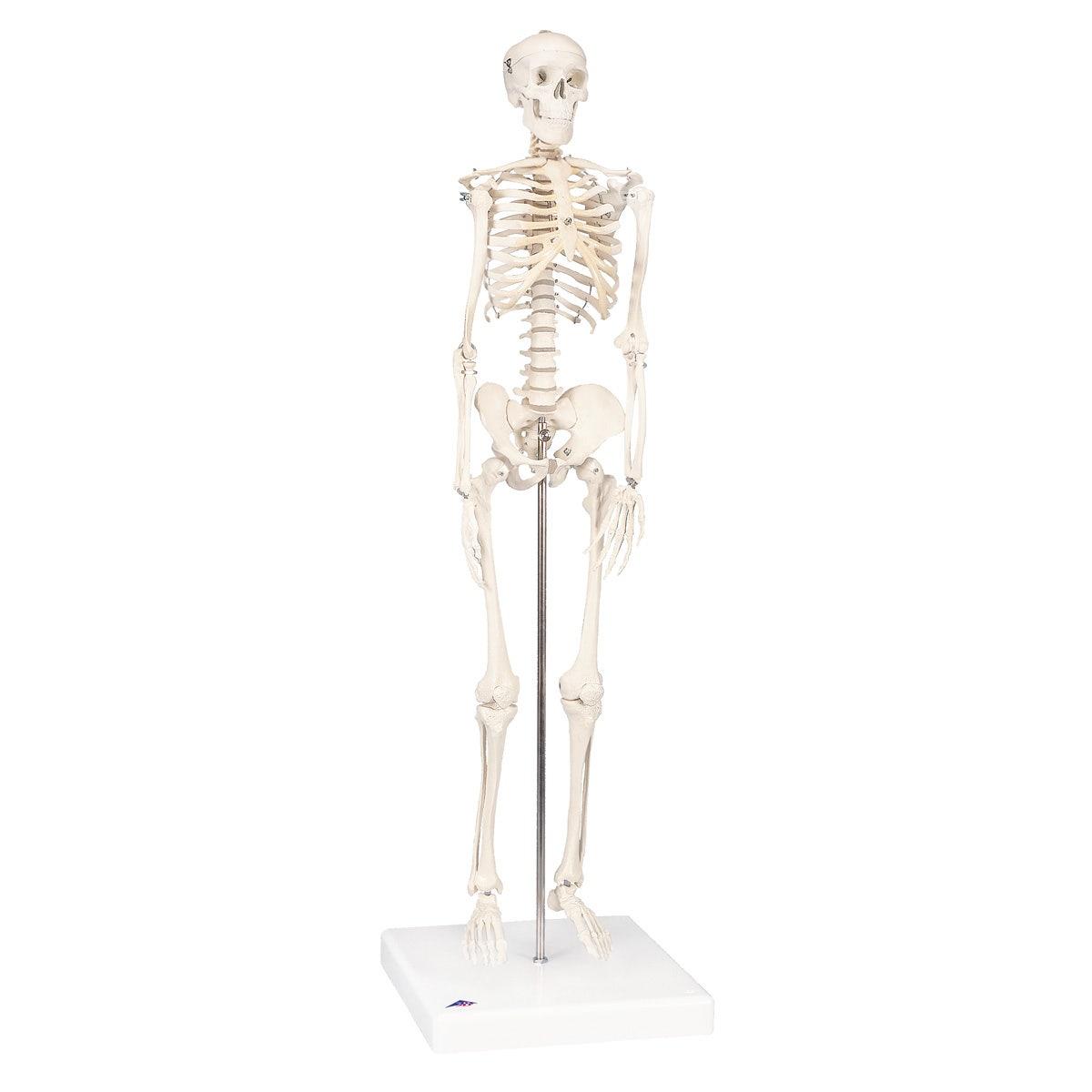 Mini skelet op voetstuk