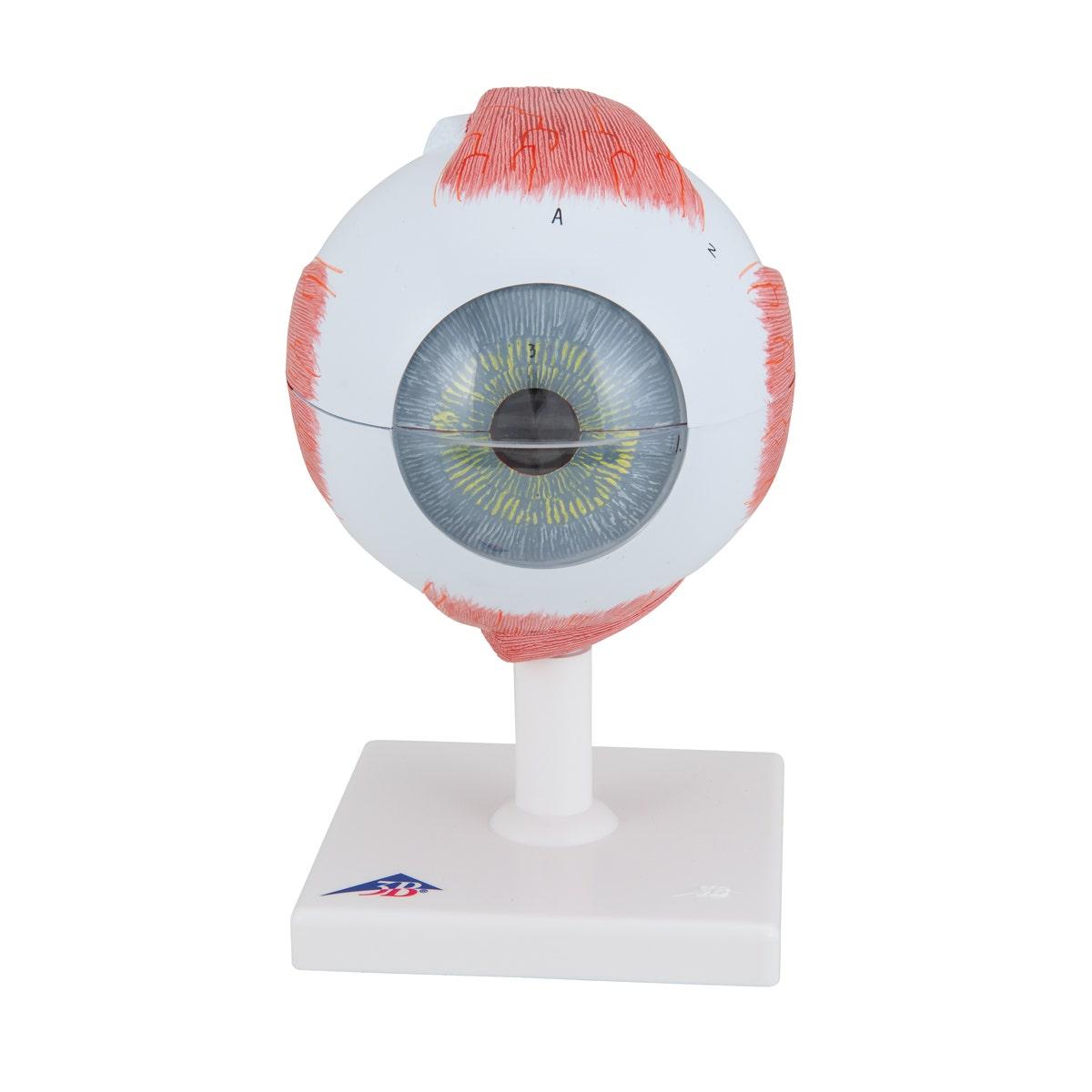 Anatomisch model menselijk oog (5 x ware grootte)