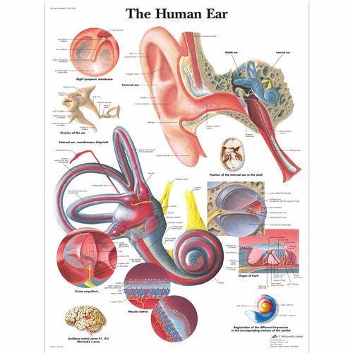 Het oor, gelamineerde wandplaat