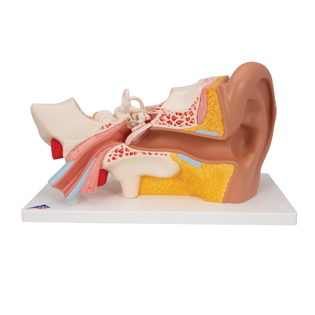 Anatomisch model menselijk oor (3 x ware grootte)