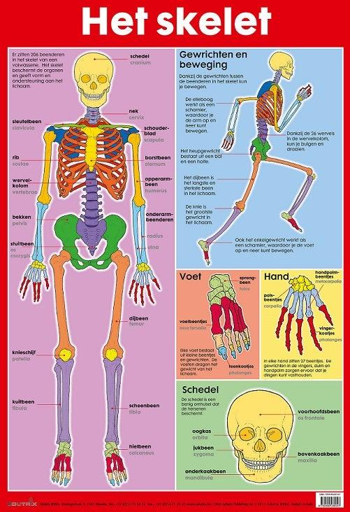 Poster Het skelet - Edutrix