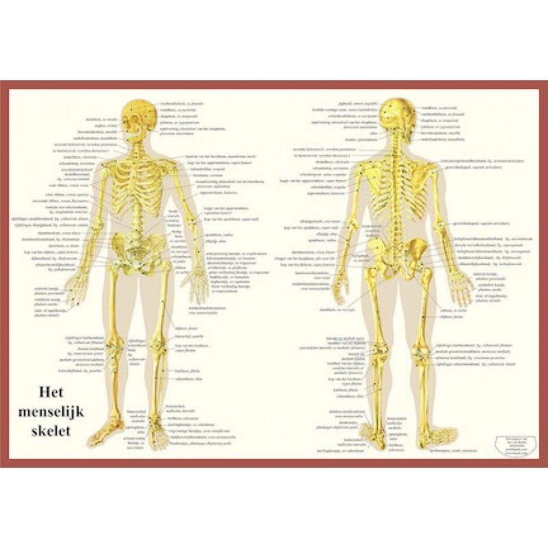 Skelet Poster A2 Nederlands