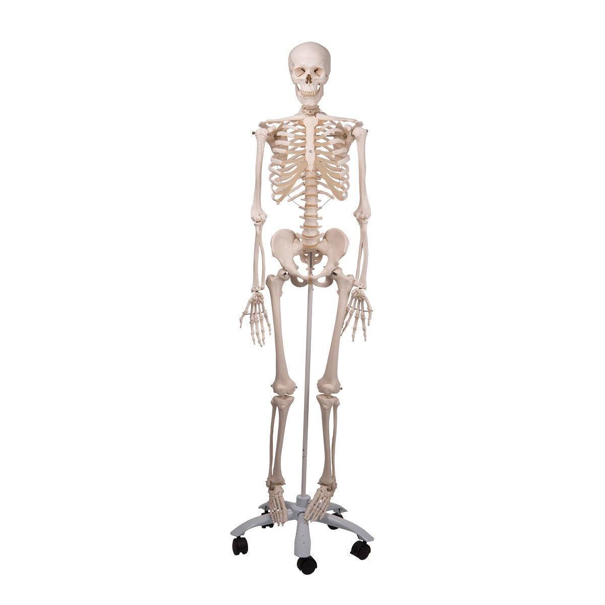 Standaard skelet