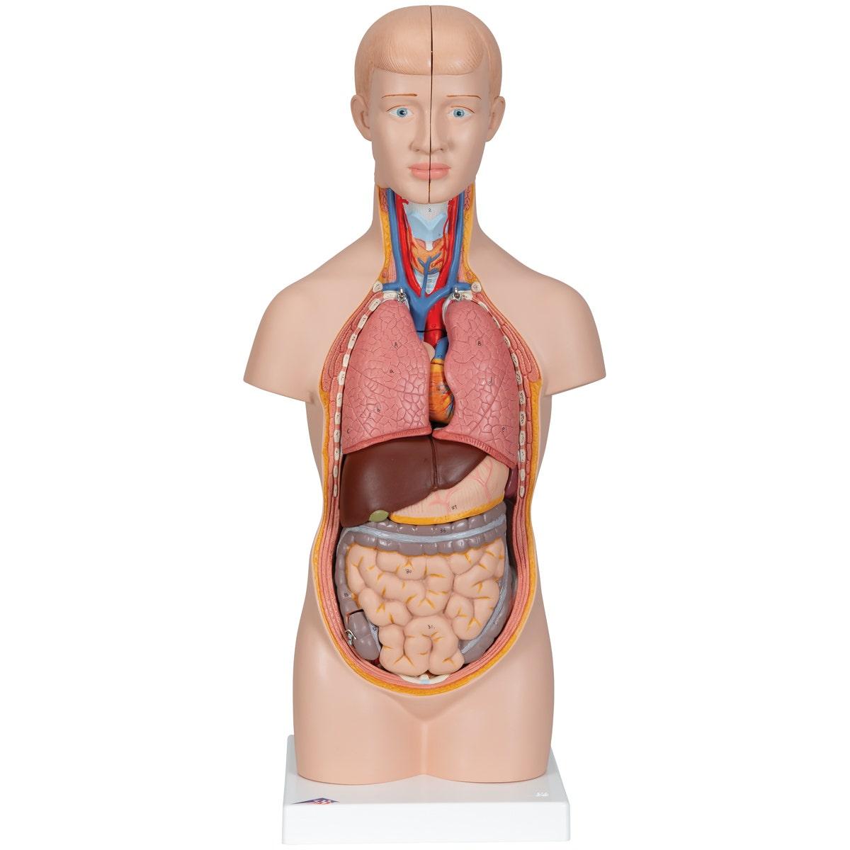 Anatomisch model torso (12-delig)