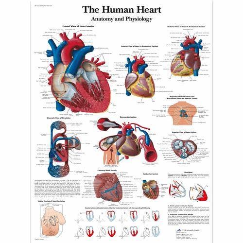 Het menselijk hart, gelamineerde wandplaat