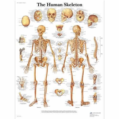 Skelet, papieren wandplaat